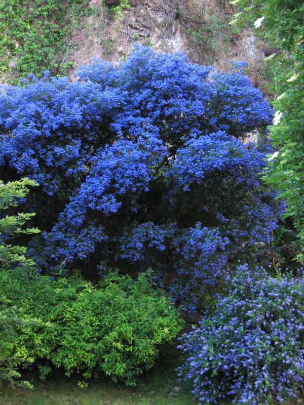 Buddleia_ou_arbre___papillons