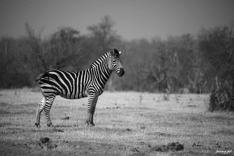 Photo Du Jour Noir Et Blanc Zebr L T Tan