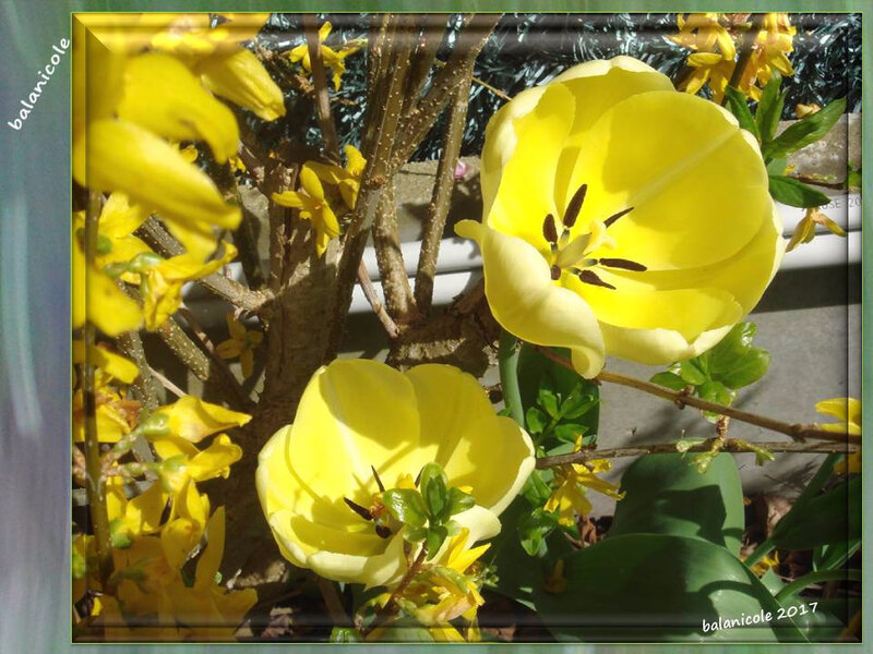 balanicole_2017_05_le printemps des tulipes_04_jaune Audrey