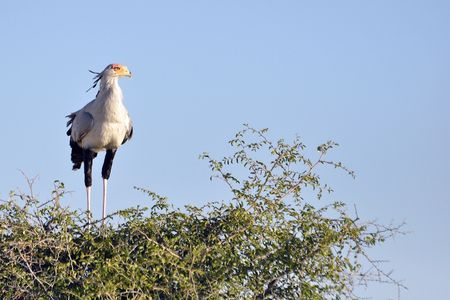 Serpentaire, parc d'Etosha, Namibie