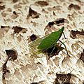 Fulgo d'europe cicadelle ( homoptère)