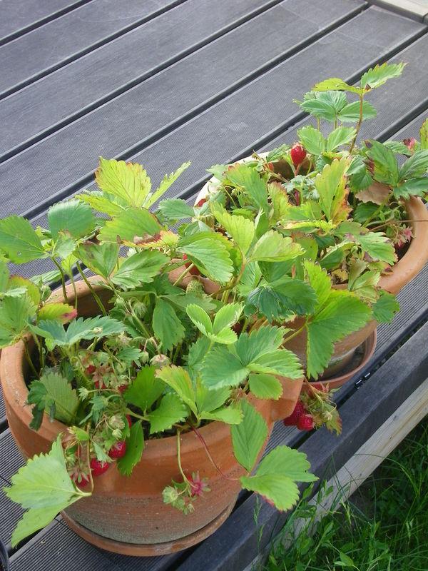Pot de fraises