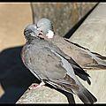 Zoo de Copenhague : amoureux comme deux pigeons