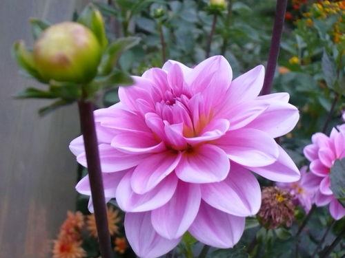 2008 10 02 Une fleur de dahlias rose