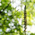 Orchis homme-pendu (6)