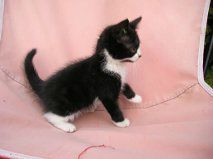 Mozart chaton male