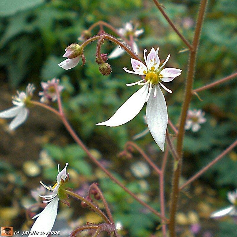 Saxifrage-fleurs