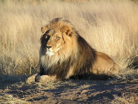 800px_Lion_waiting_in_Nambia