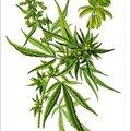 Le chanvre, une plante aux vapeurs enivrantes
