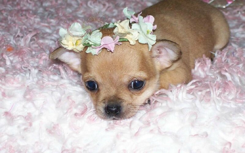 Do-I-look-Cute-chihuahuas-13376707-1280-800