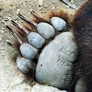 a-grizzly-bear-paw-thumb3269371
