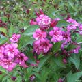 Weigelia rouge Bristol Ruby