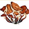 59 Collybia fusipes