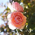 Roses anglaises?