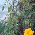 2008 07 11 Mes tomates coeur de boeuf sous serre