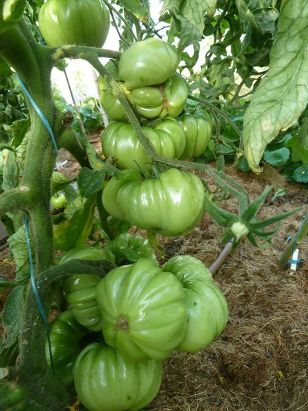 01-tomates serre (10)