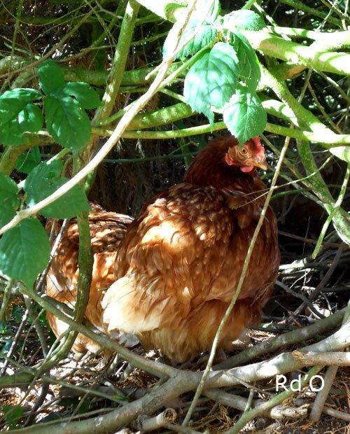 poules-blog-07