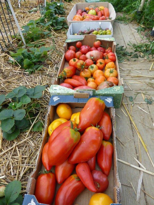 25-tomates du jour (9)