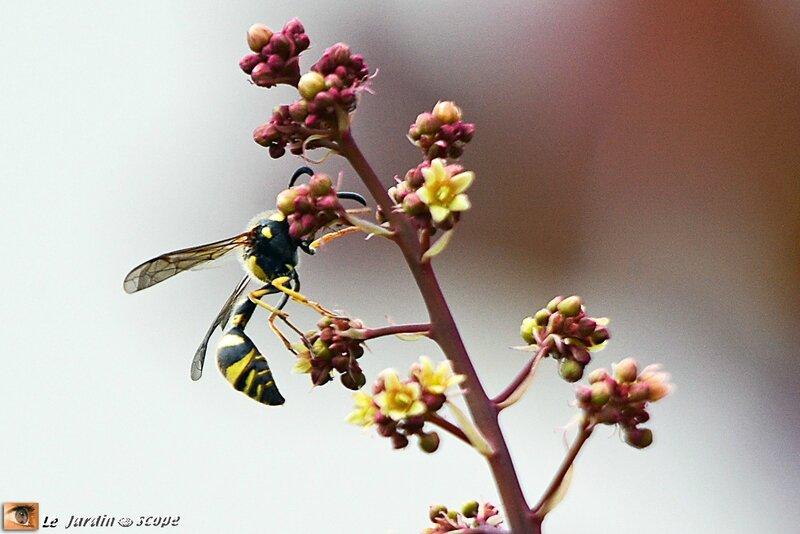 Guêpe maçonne • Eumenes papillarius