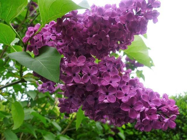lilas mauve (2) (Copier)