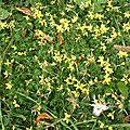 Lotier corniculé (Lotus cornicolatus), prairie