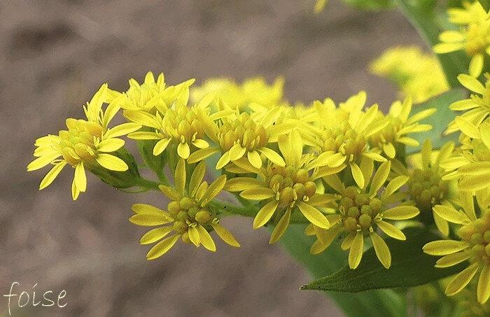 fleurs ligulées + longues que les fleurs tubuleuses