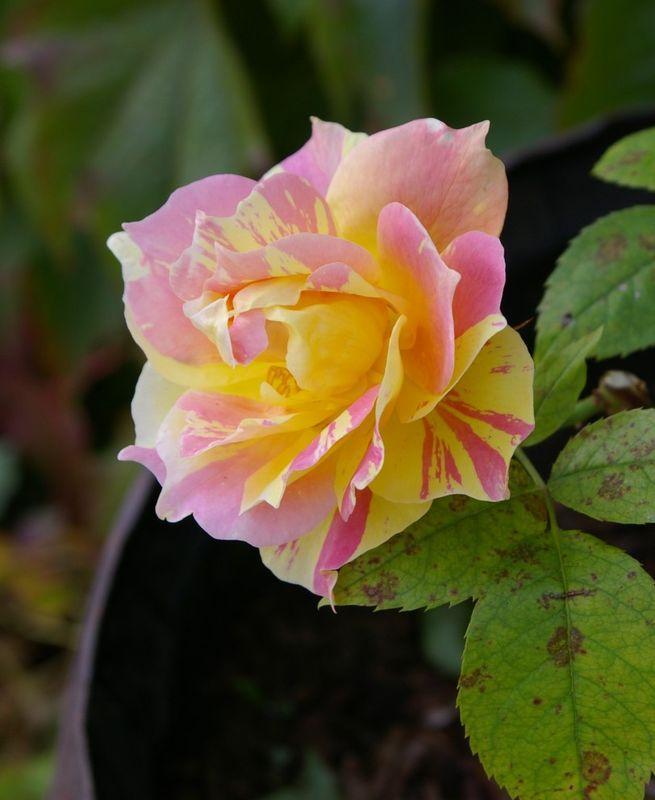 rose par theo