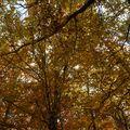 2009 10 31 Des Fayards (hêtres) aux couleurs de l'automne (5)
