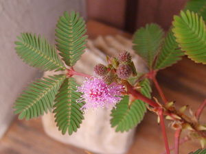 Mimosa_pudica_fleur