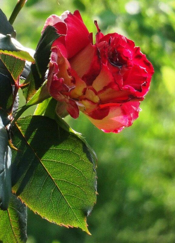 bouton du rosier sur tige devant pres du petit banc