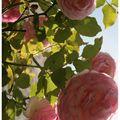 Encore le rosier du jardin