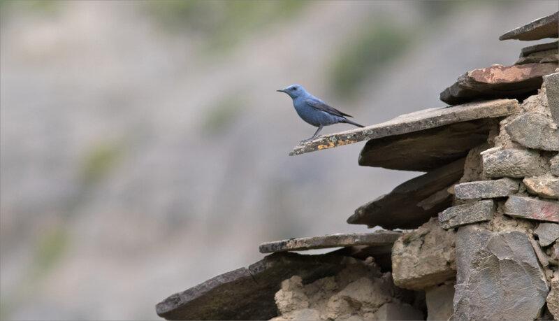 Aragon Escalona oiseau monticole bleu 020518 8