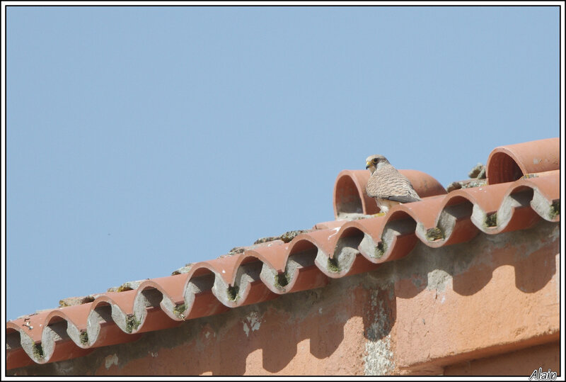 Faucon crécerellette (Falco naumanni)