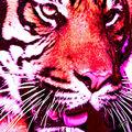 03A. Le tigre rose