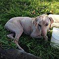 Jeune chien trouvé couché, fracture ancienne, le fémur est remonté dans le bassin, il ne se lève plus