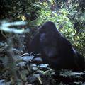 gorille 13