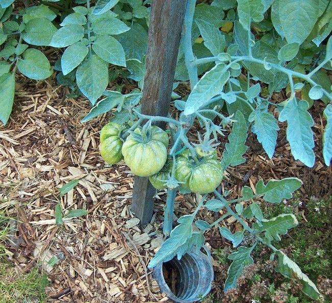 Tomates - 21 Juin 08