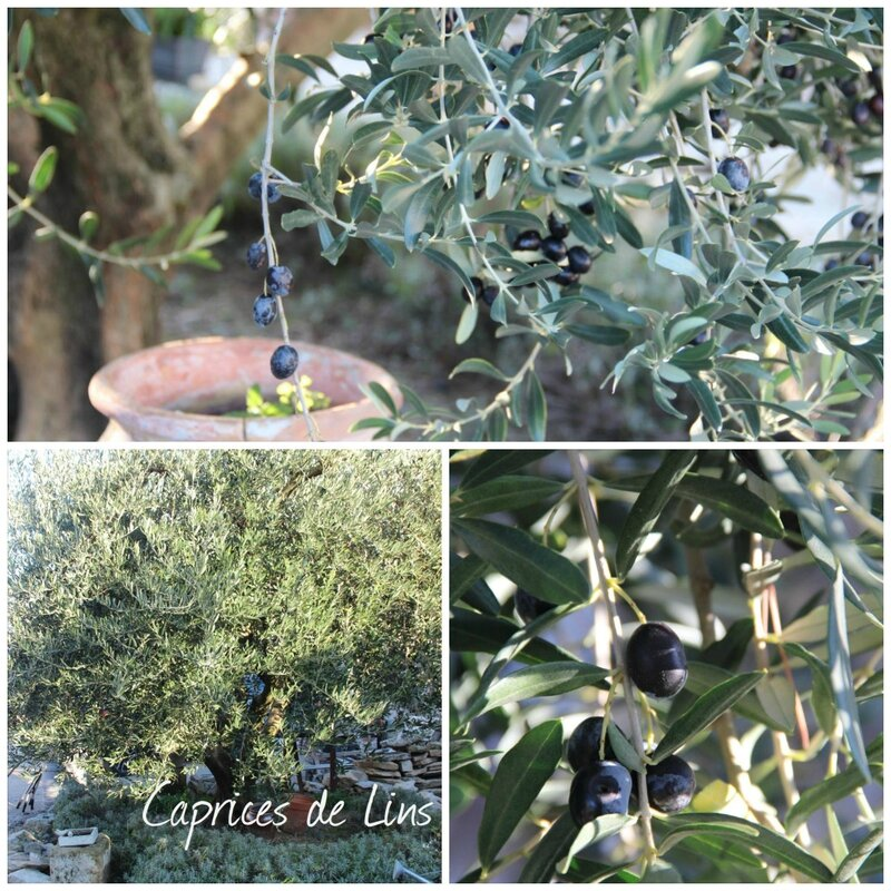 Olives 2015