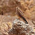 Falco tinnunculus_XRu