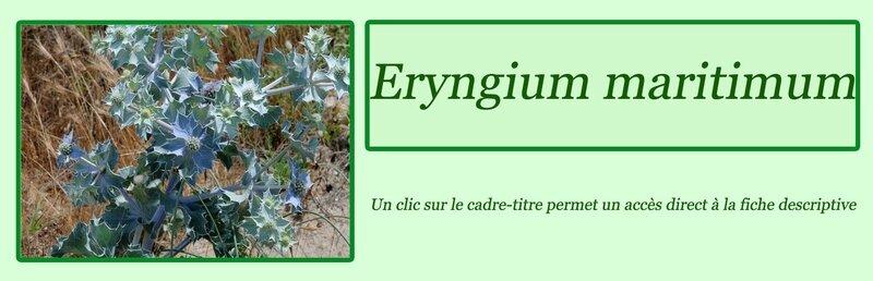 Eryngium maritimum