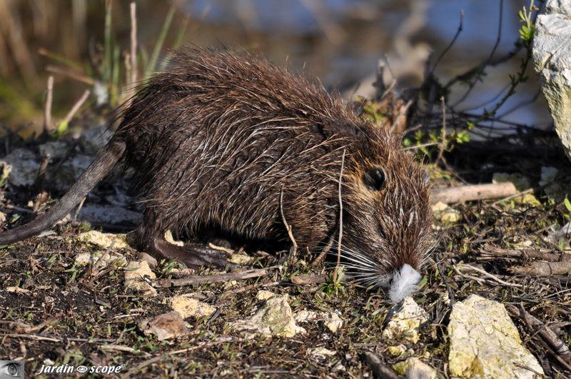 Rat musqué • Ondatra zibethicus • Famille Muridae