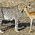 ر ميشيل دينيس بالتقاط صور غريبه لفهود تلعب مع غزال عندما كان في كينيا2