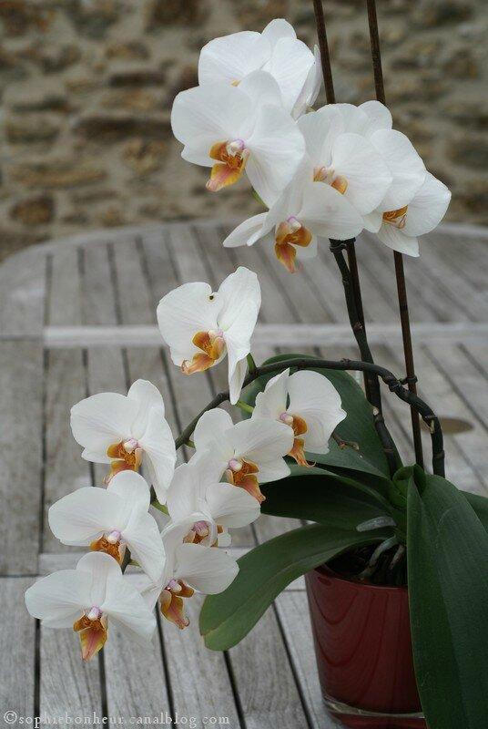 j orchidée blanche