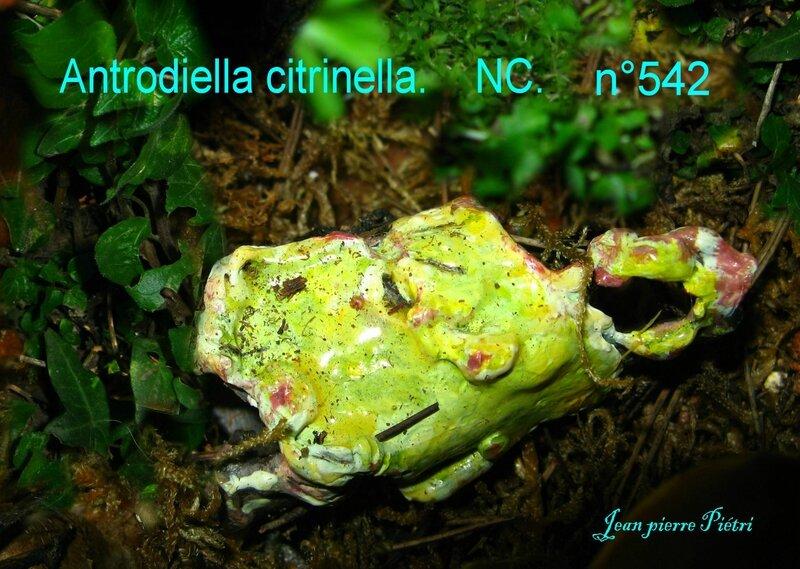 Antrodiella citrinella