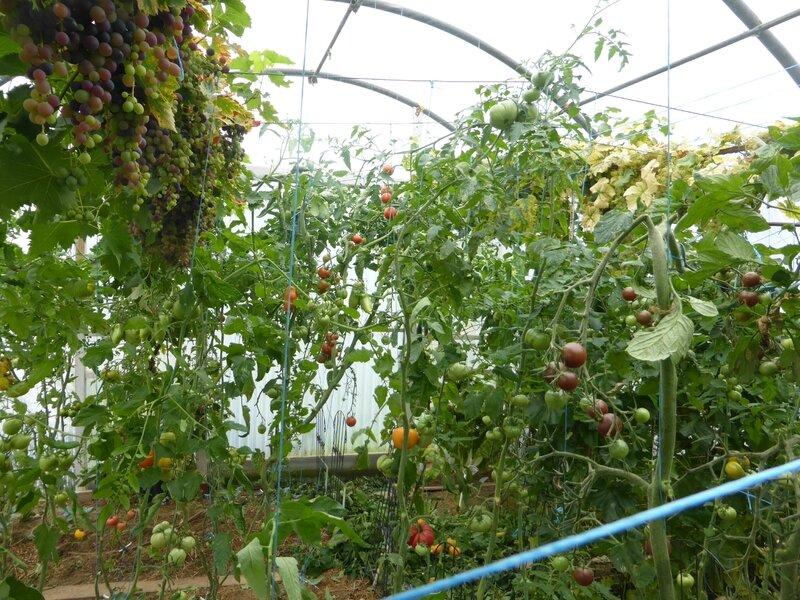 28-serre-tomates-raisins (42)