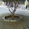 تحويط أشجار الزيتون