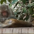 monkeys_Jaipur_11112015-002