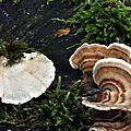 Trametes versicolor (3)