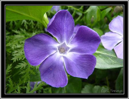 2010_06_01_Une_fleur_de_pervenche