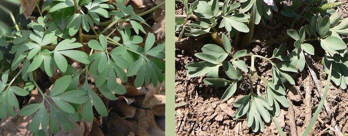 feuilles triséquées à segments incisés-lobés